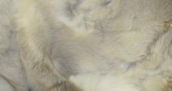 Porontaljan pala epämääräisen mallinen riekale