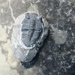 Trilobiitti fossiili musta 45mm, kivi 70mm 163g
