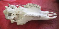 Poron kallo, johon maalattu shamanistisia symboleita, reindeer skull
