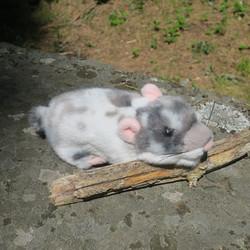Pehmolelu hamsteri, pituus 18cm