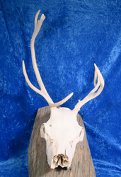 Poron kallo sarvineen, natural reindeer skull with horns