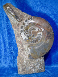 Fossiiliveistos 19,5kg korkeus 55cm, leveys 36cm
