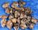 Turritella-akaatti rumpuhiottu etanafossiili 3-5g USA