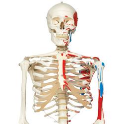 LUURANKO + lihasten kiinnityskohdat A11 [4905]