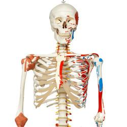 LUURANKO + lihasten kiinnityskohdat ja ligamentit A13 [4907]