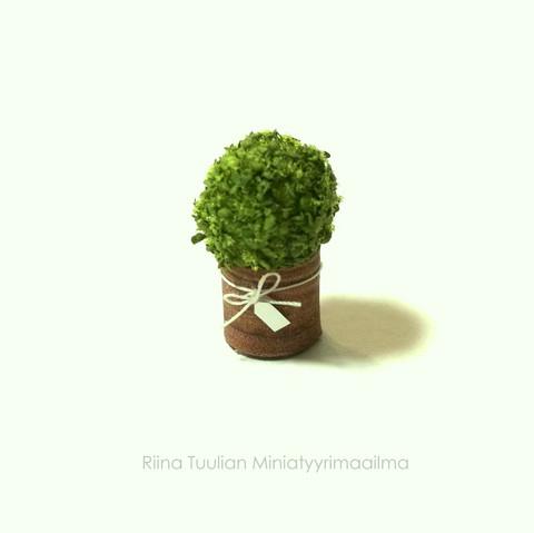 Minipuksipuu ruukussa