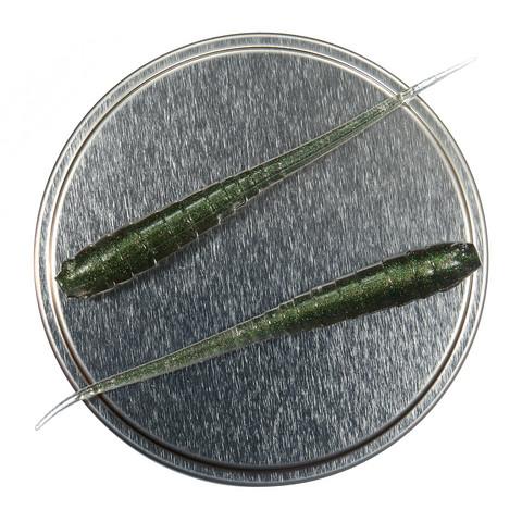 Annelida 77mm 5kpl väri: Smaragdi